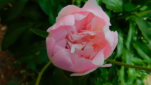 Pink Blooming Peony