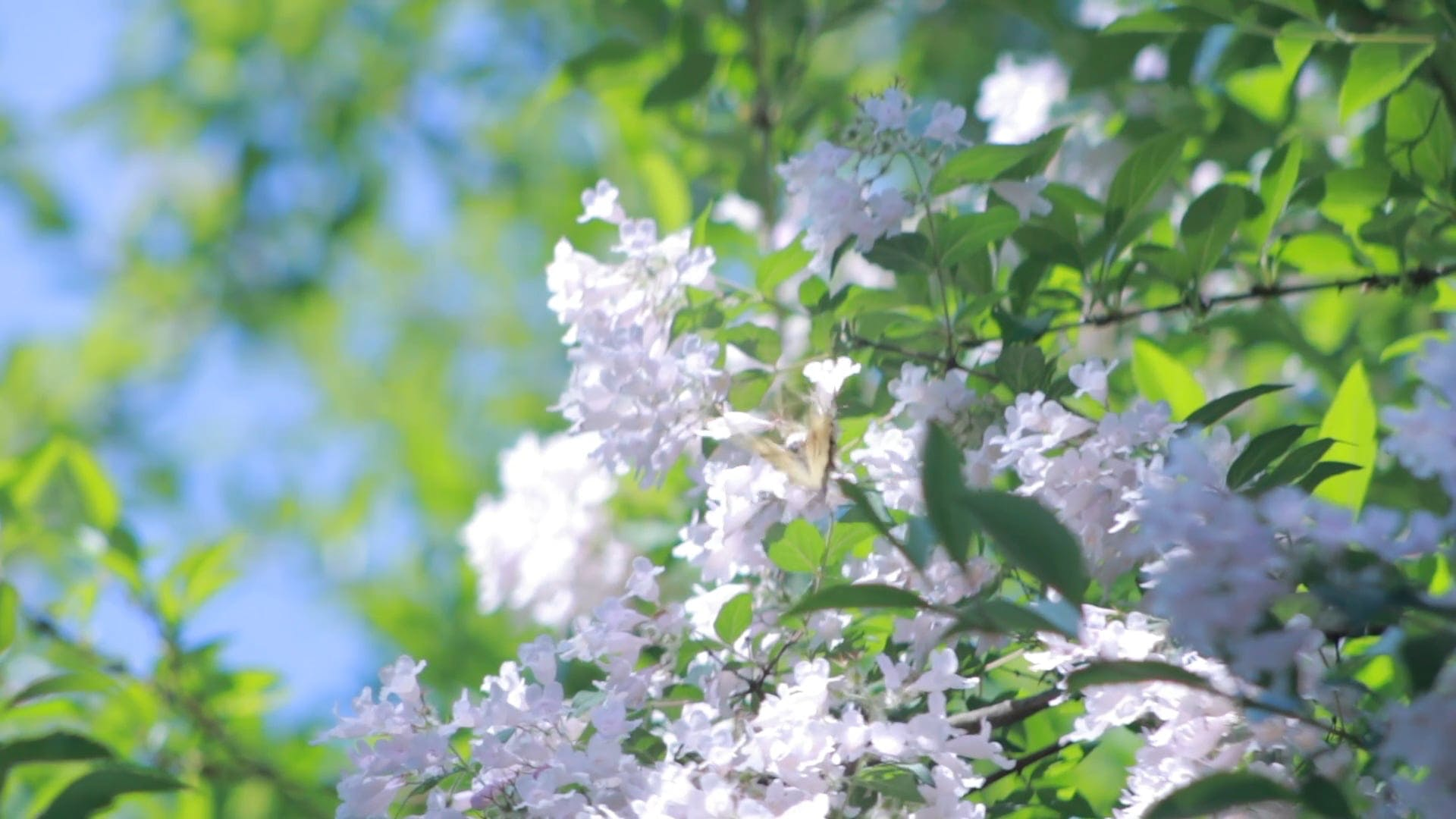Butterfly Flying Around White Flowers