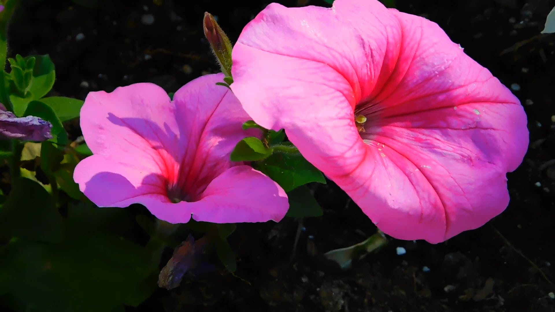 Blooming Pink Petunias