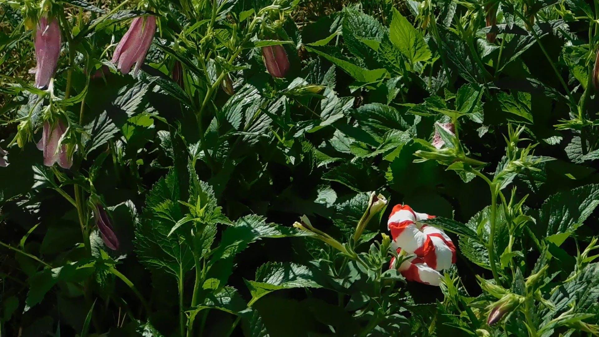 Fuschia Pink Flowers