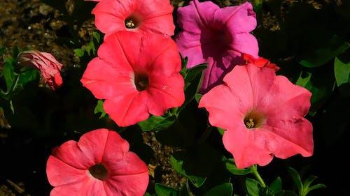 Blooming Red Petunias