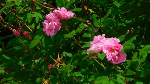 Pink Flowers On A Windy Day