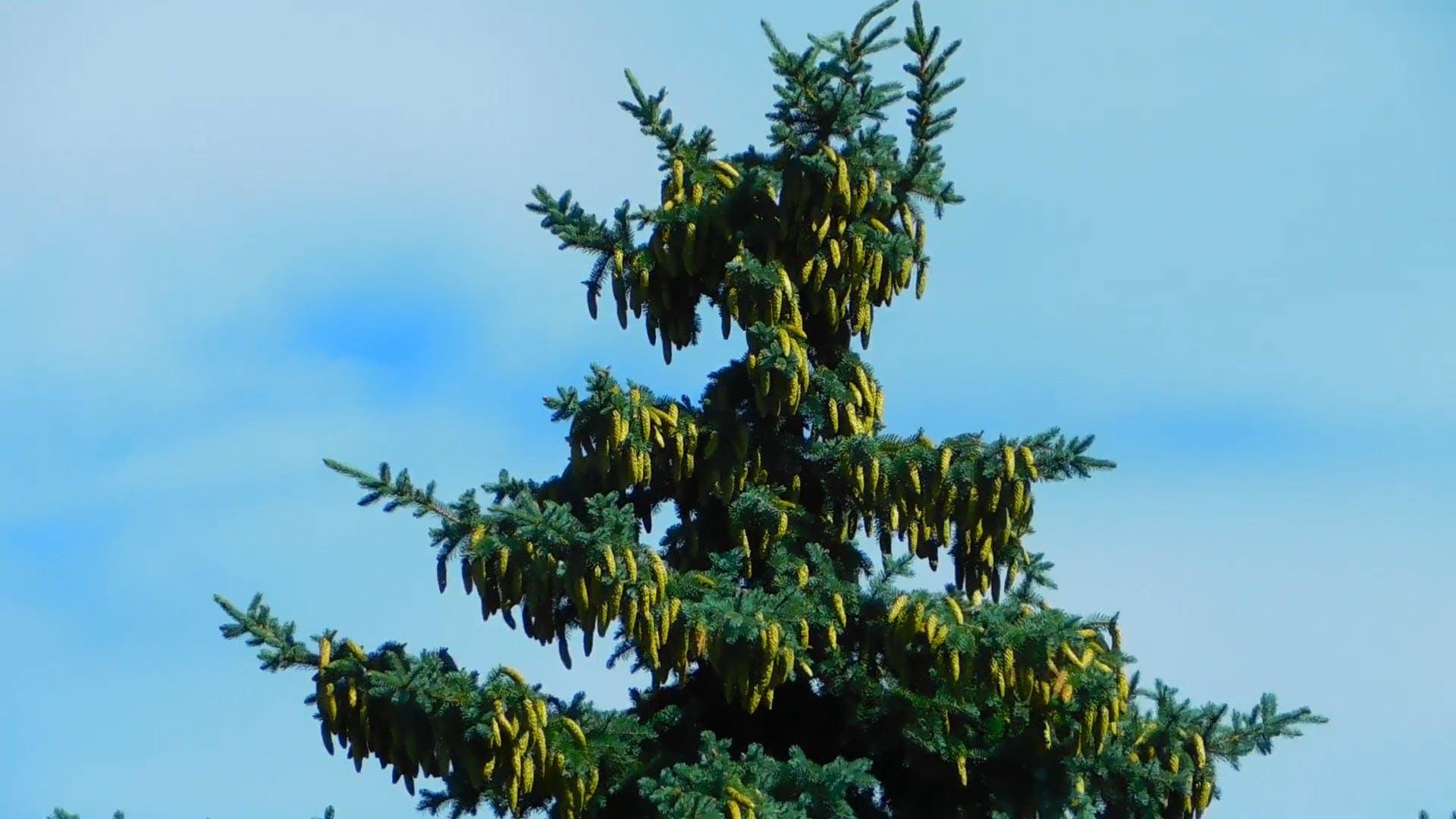 Tall Spruce Tree