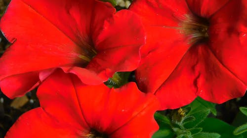 Close-Up Video Of Red Petunias