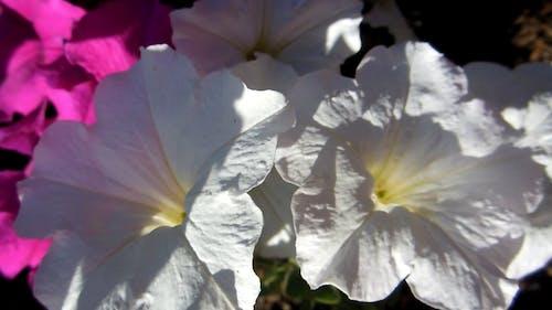 Blooming White Petunias