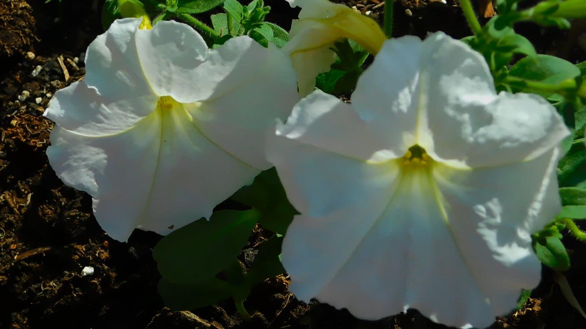 Close-Up video of White Petunia