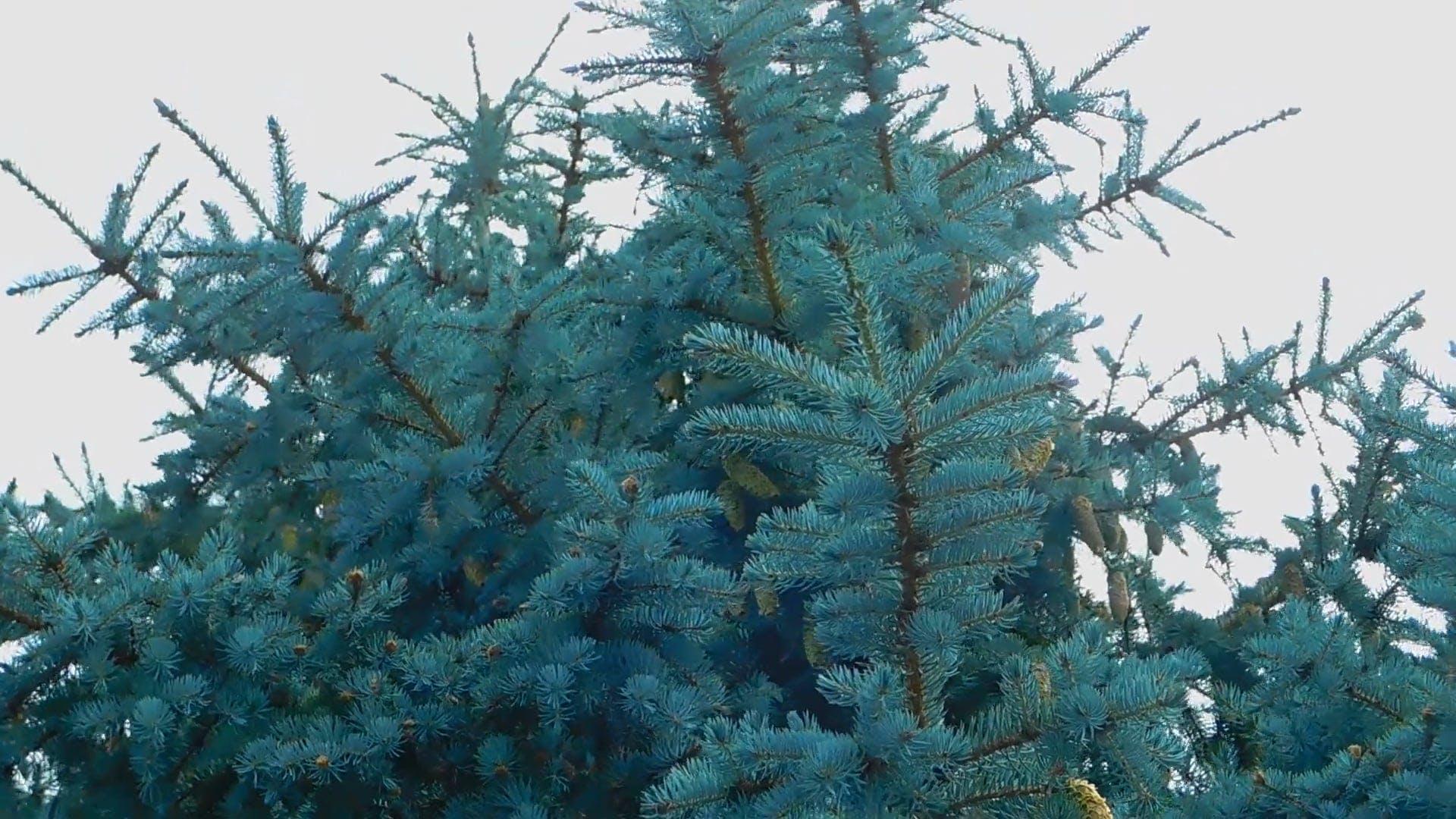 Spruce Tree On A Windy Day