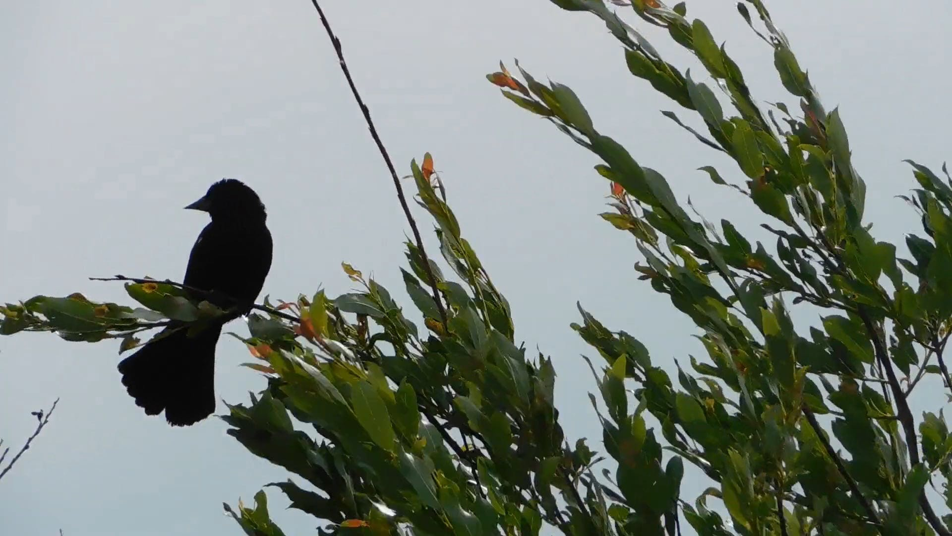 Video Of Bird Perched on A Tree