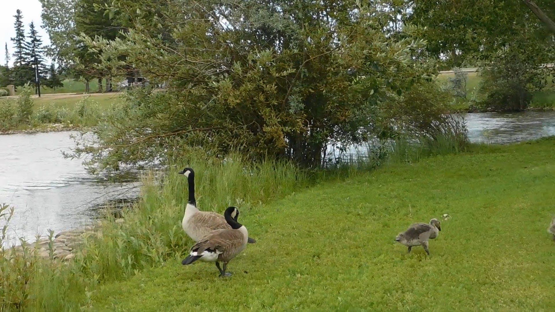 Video of Ducks On Grass