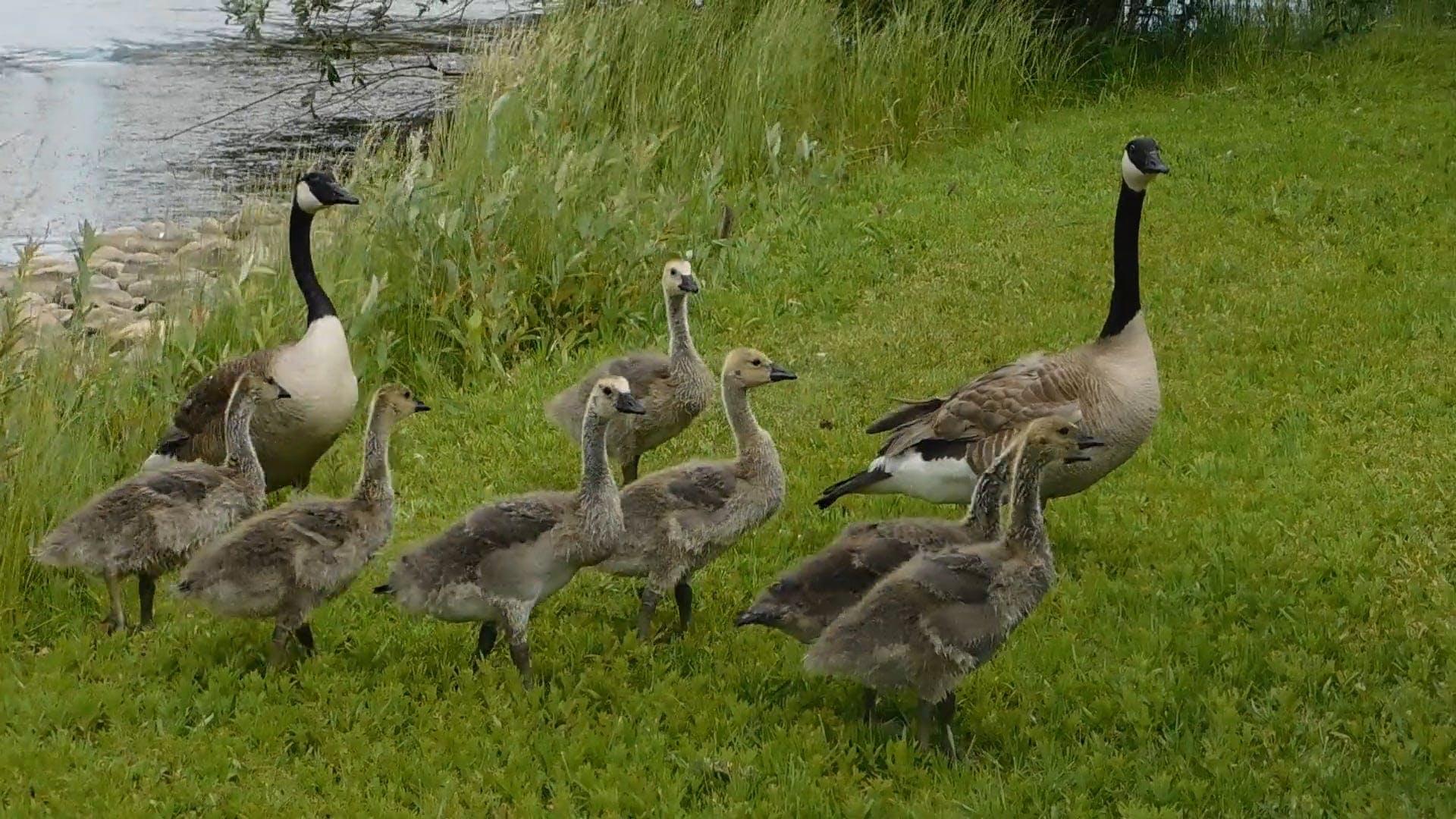Ducks Walking On Grass