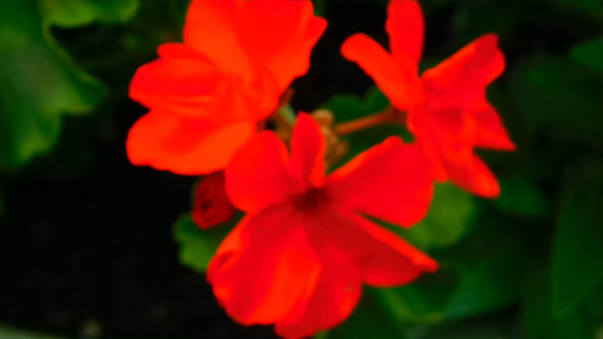 Close-Up Video Of Red Flowers