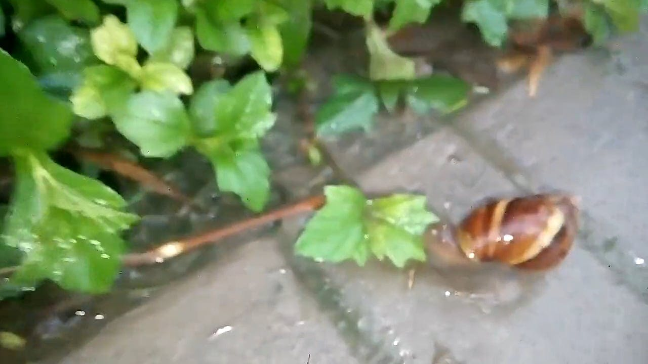 Close-Up Video Of Snail Near Leaf