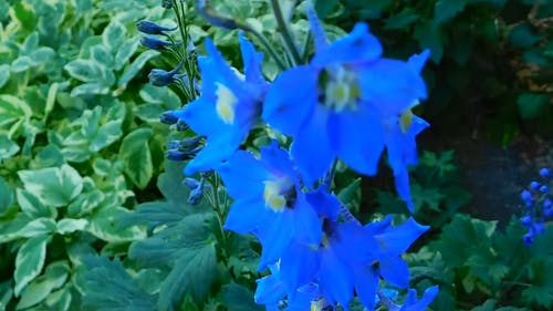 Close-Up Video Of Blue Flowers