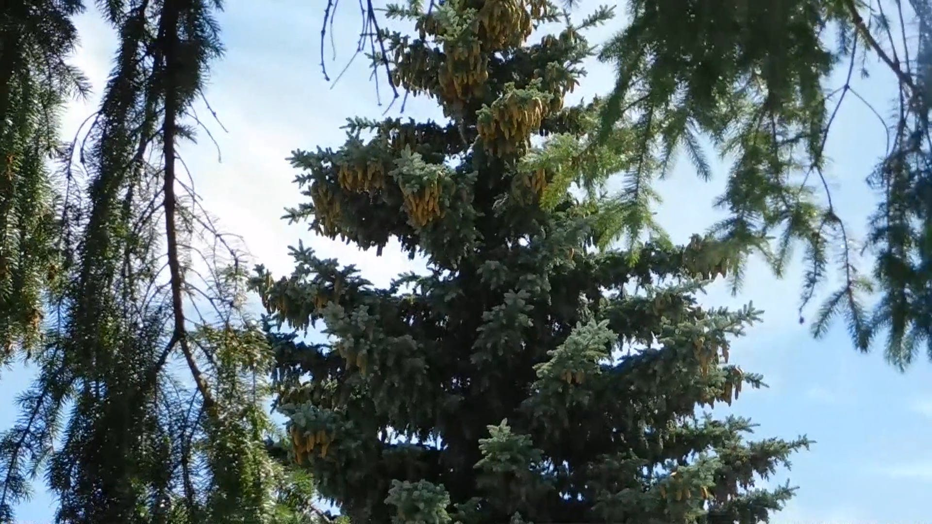 Video of Fir Tree During Daytime