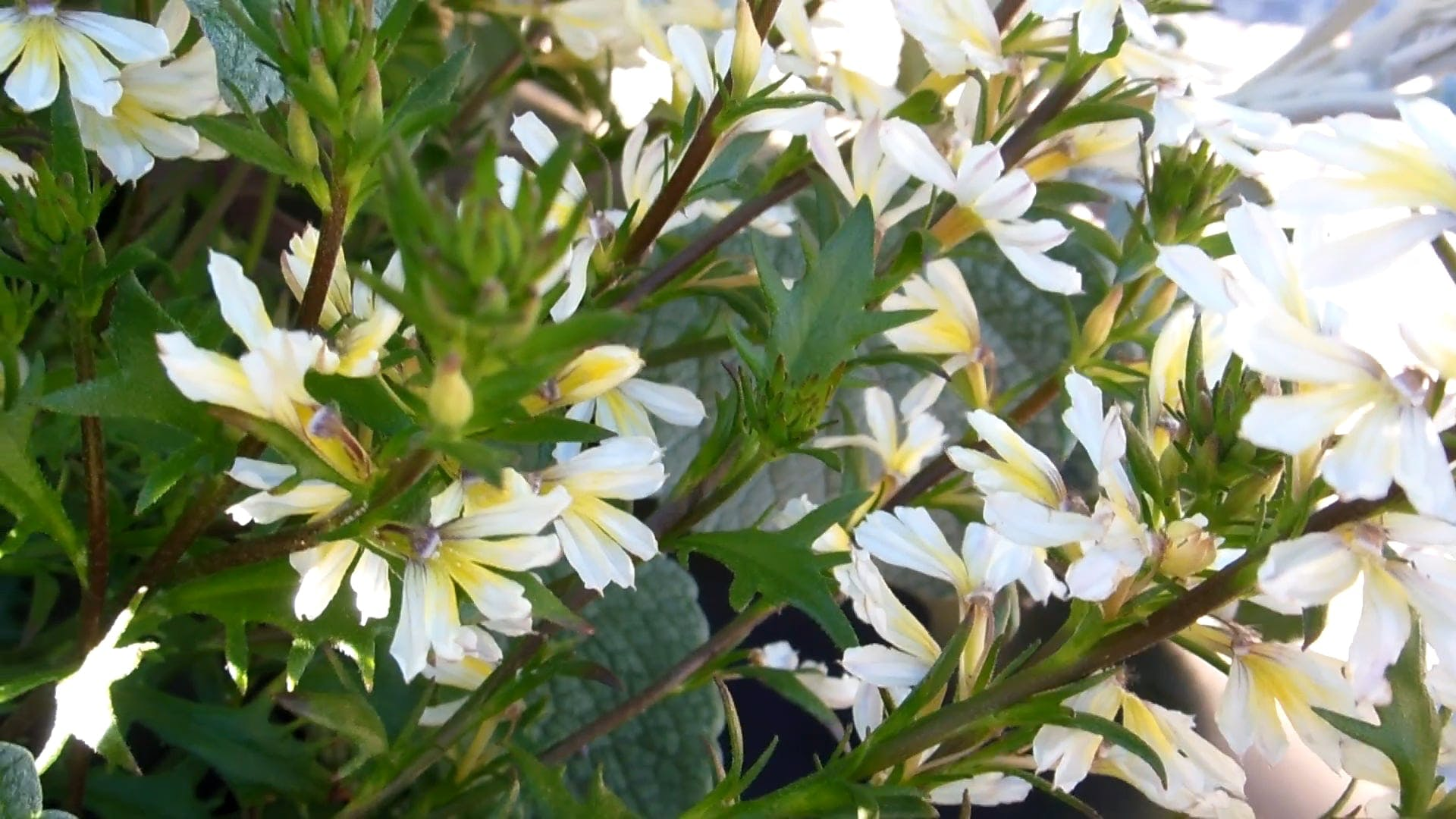 Video Of White Flowers