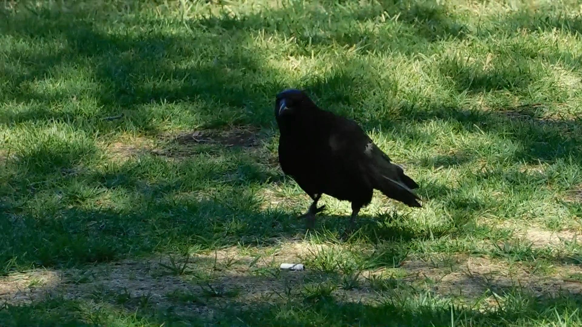 Close-Up Video Of Crow On Grass