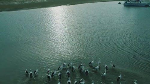 A Squadron Of Pelicans