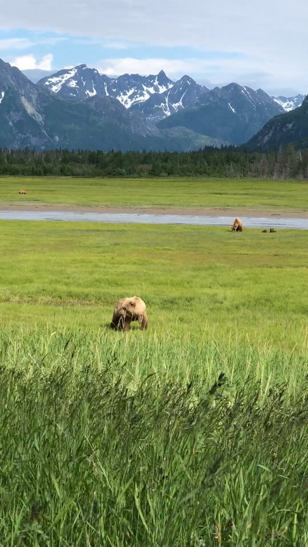 Brown Bear Feeding On Grass