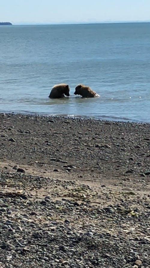 Two Bears At Lake Clark National Park Alaska