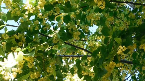 The Linden Tree in Full Bloom