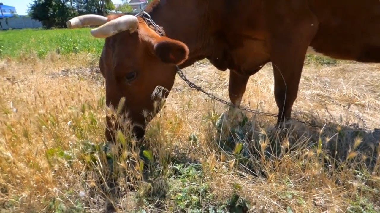 Video of Brown Cow Eating Grass