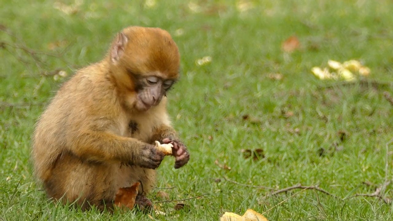 Baby Monkey Eating