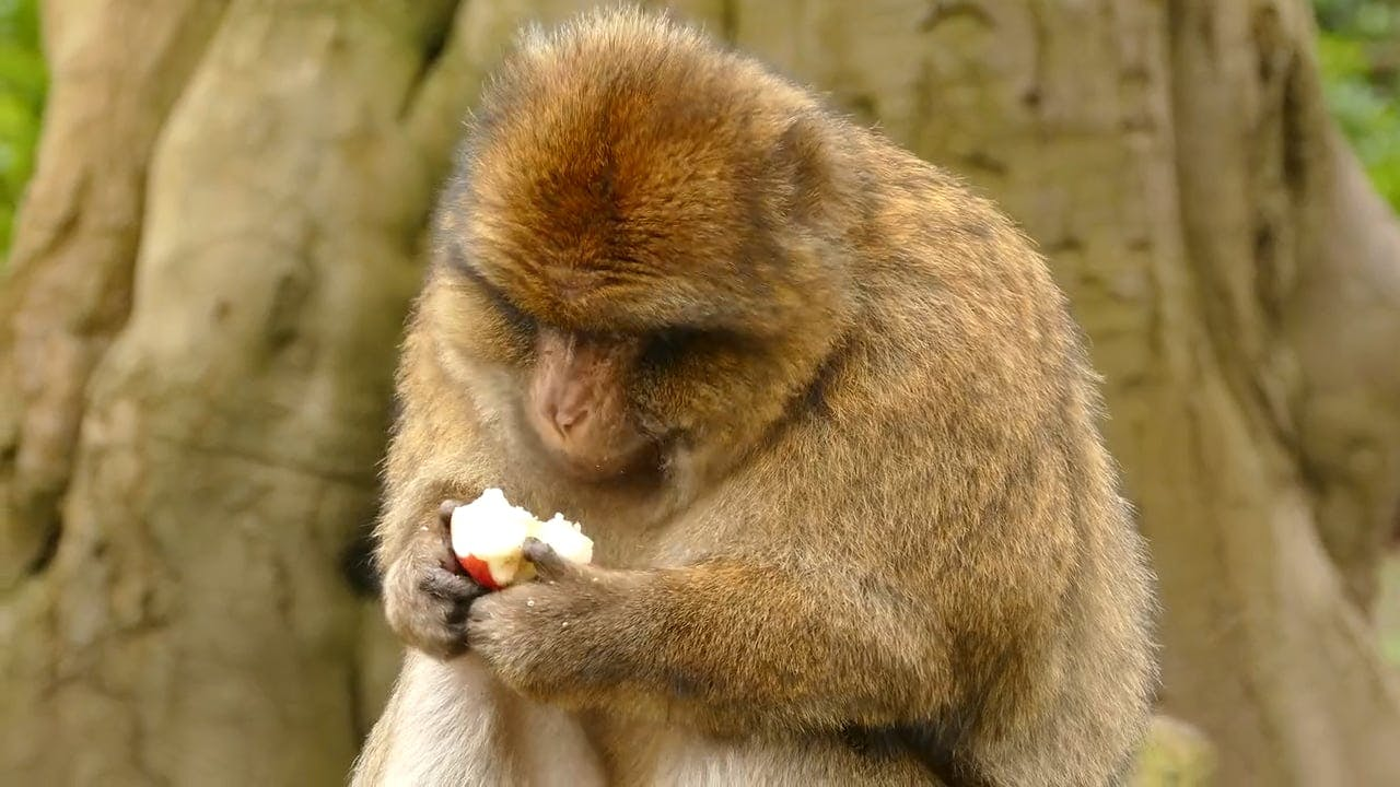 Macaque Eating Apple