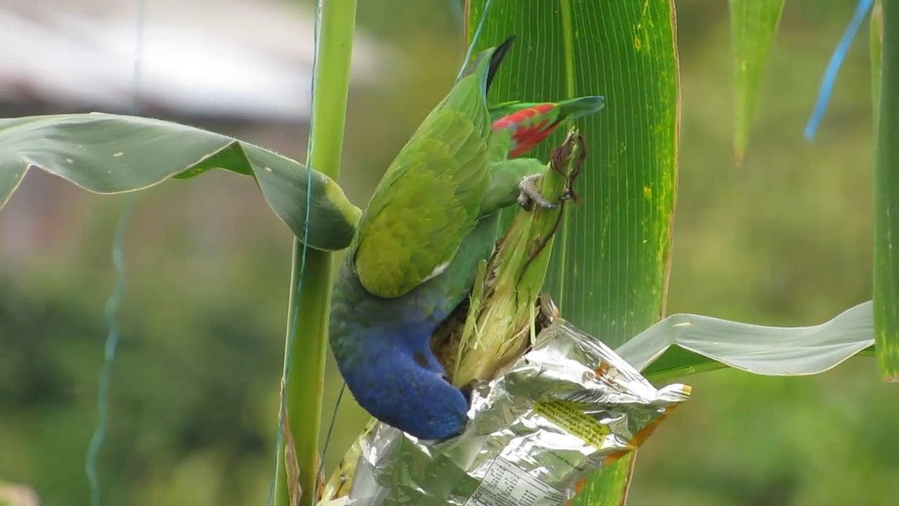 A Bird Feeding On A Corn Cob