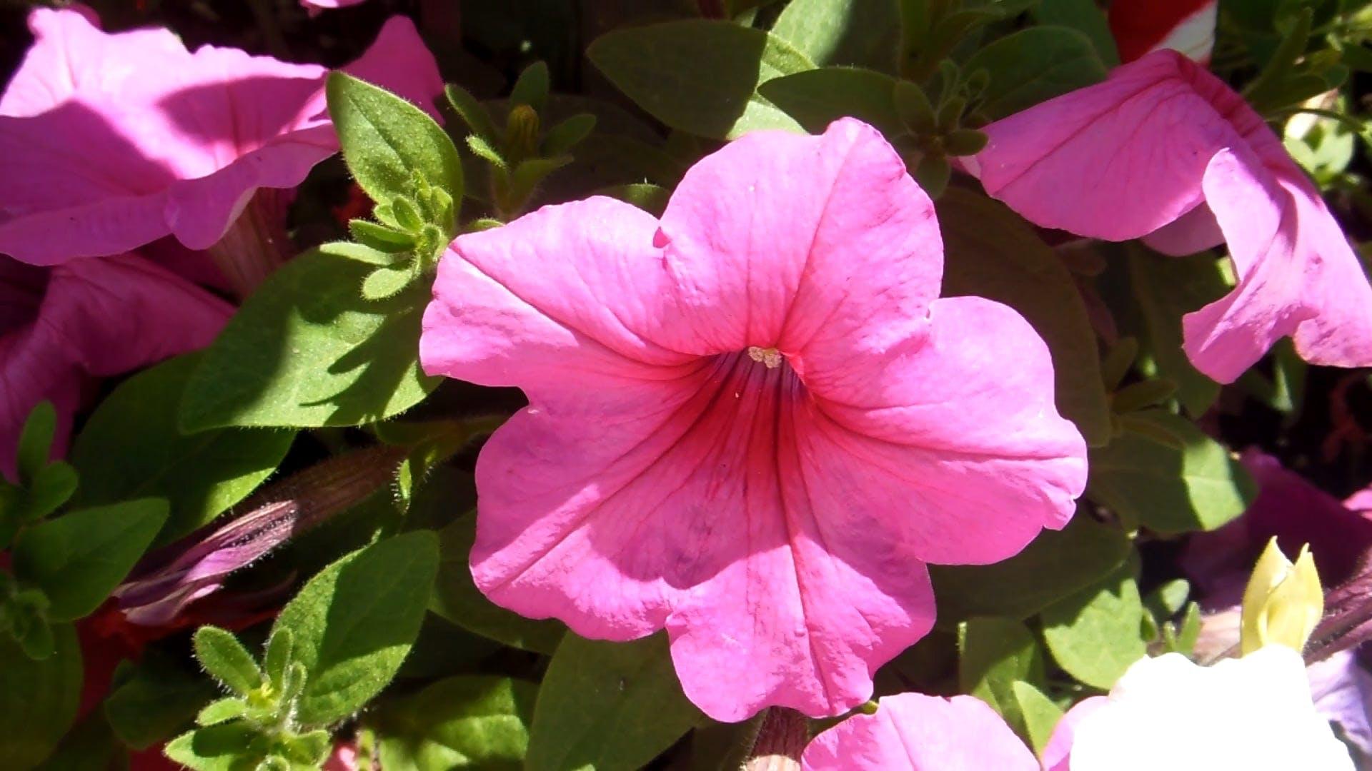 Pink Petunias In Video