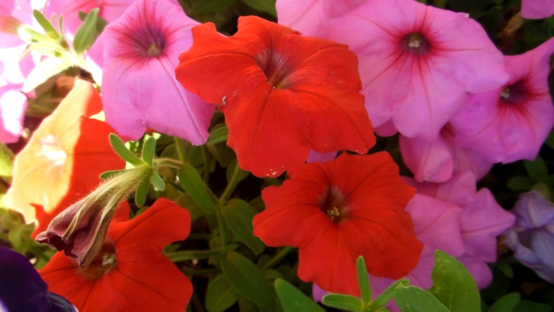 Video with Rainbow Color Flowers