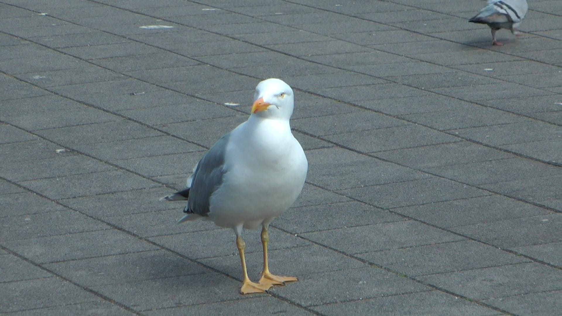 CLose-Up Video of Seagull