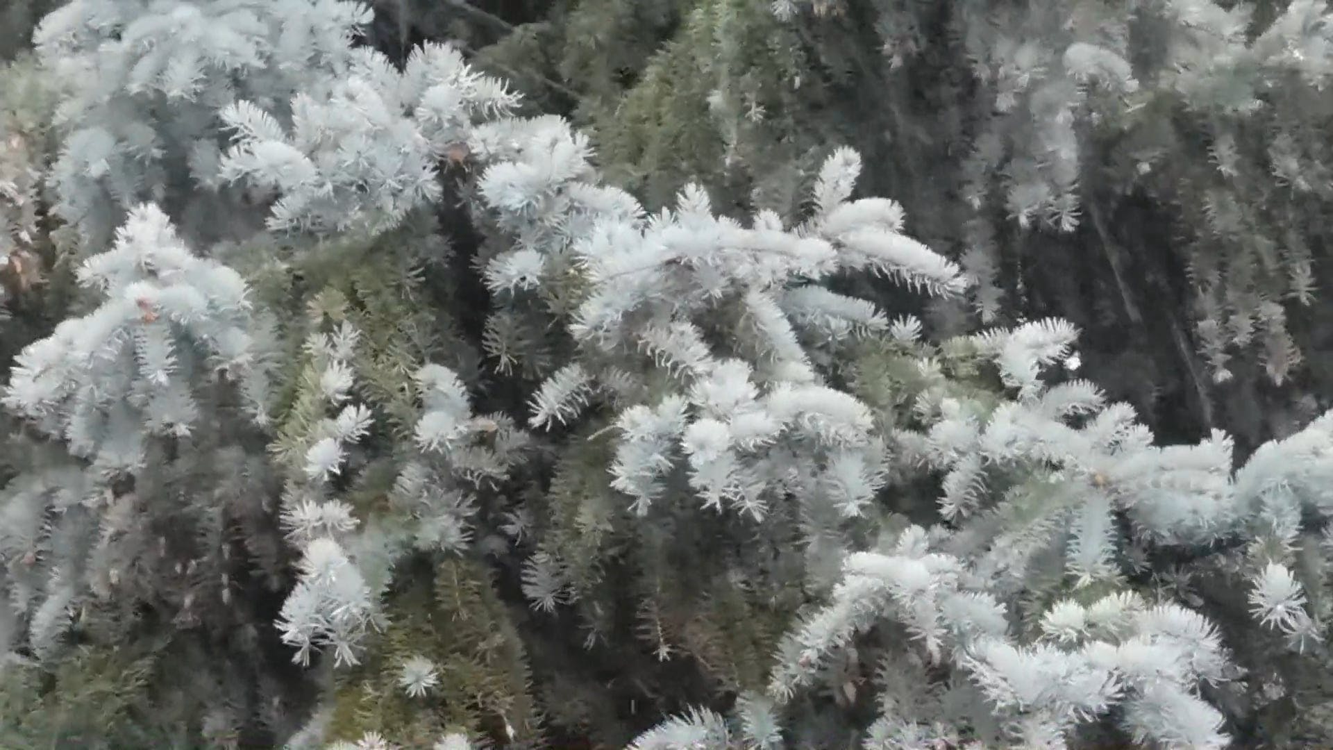 Silver Spruce in the Stormy Weather