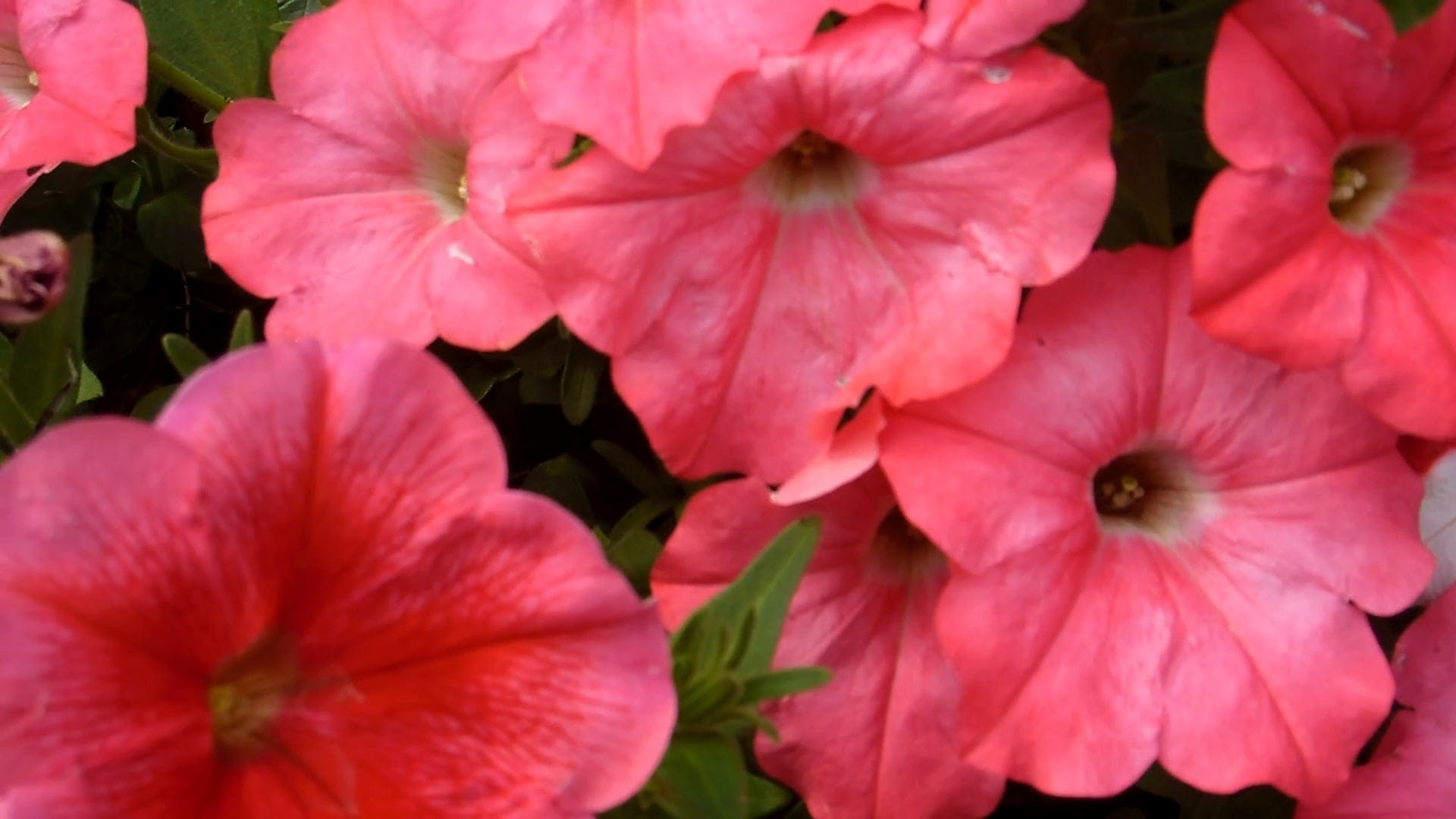 Pink Petunia on a Windy Day