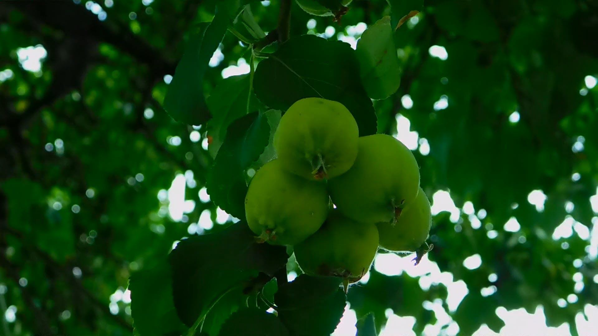 Close-up Of Fruits On The Tree