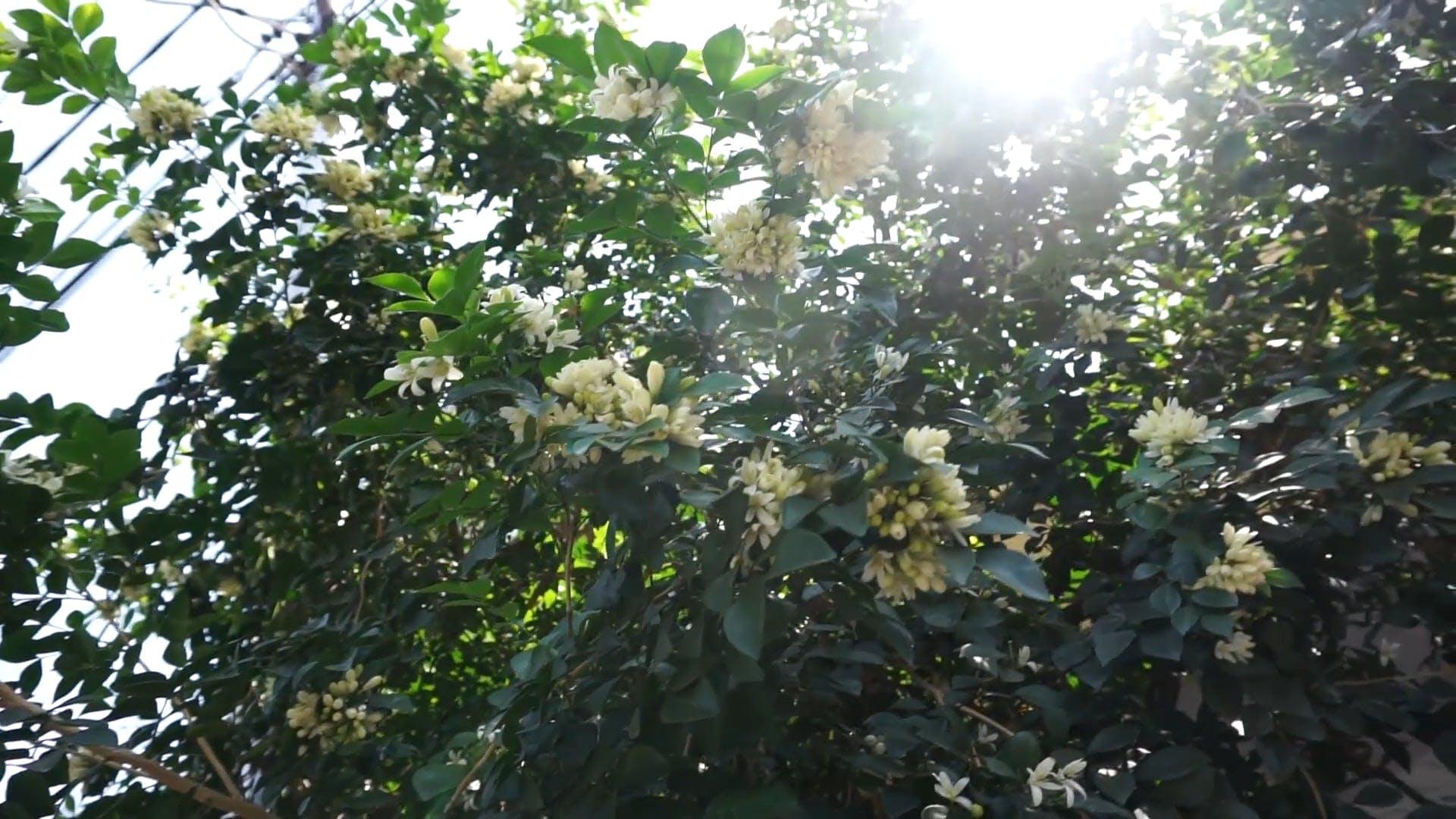 Video of Jasmine Tree
