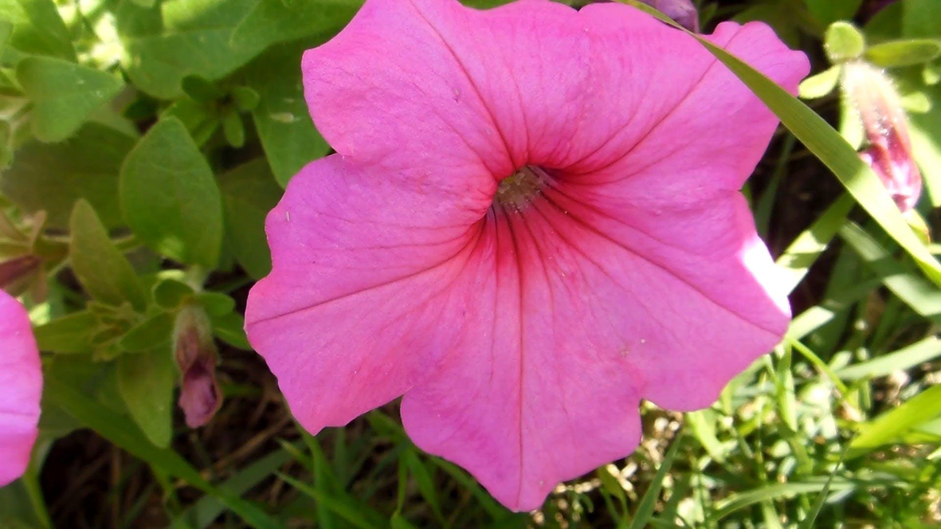 Beautiful Pink Flower Video
