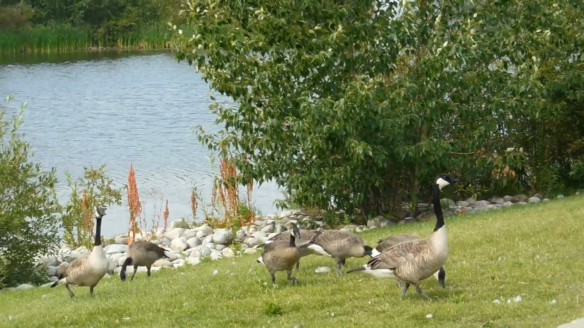 Video of Geese On Grass