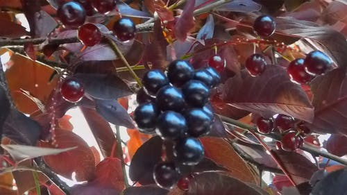 Beautiful Color Of Berries On A Tree