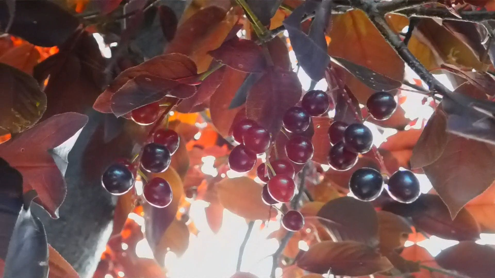 Tree Branches With Berries