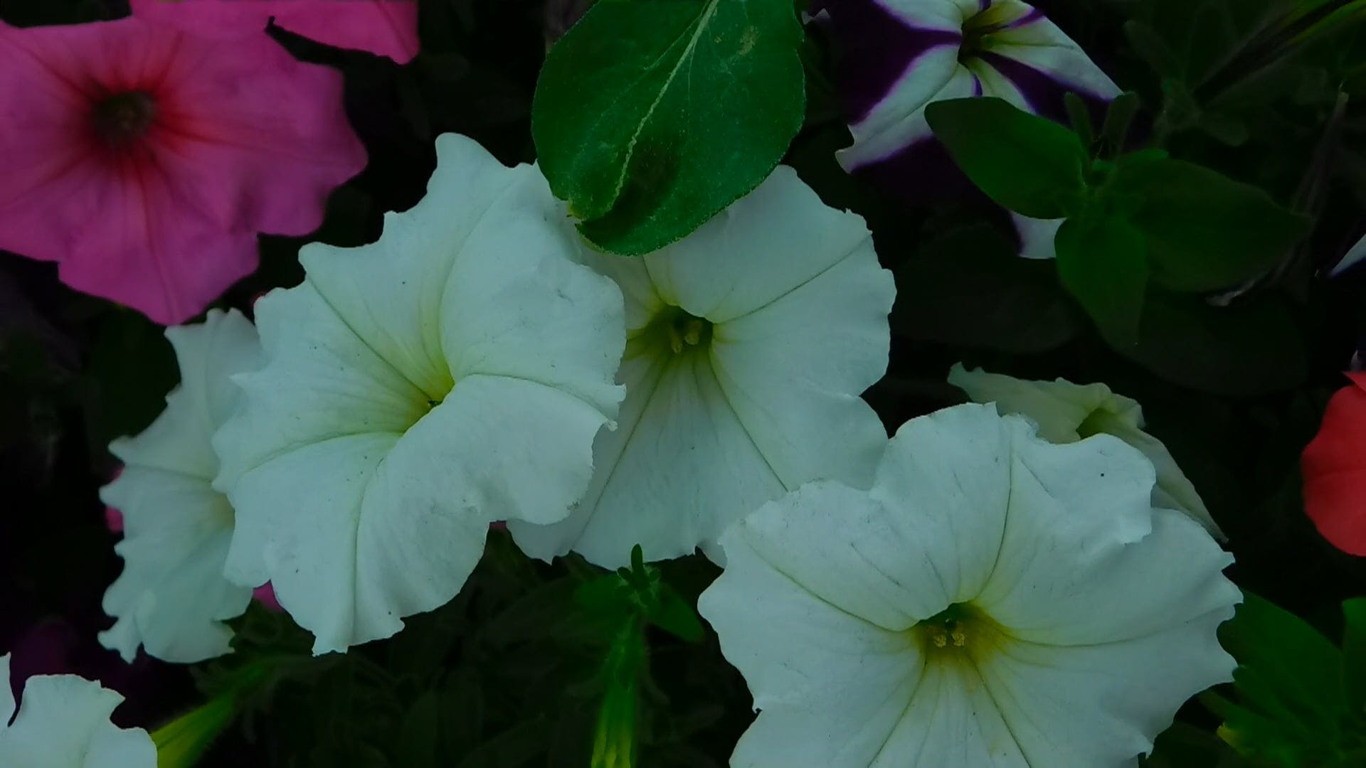 Close-UP Video of White Petunia Flowers