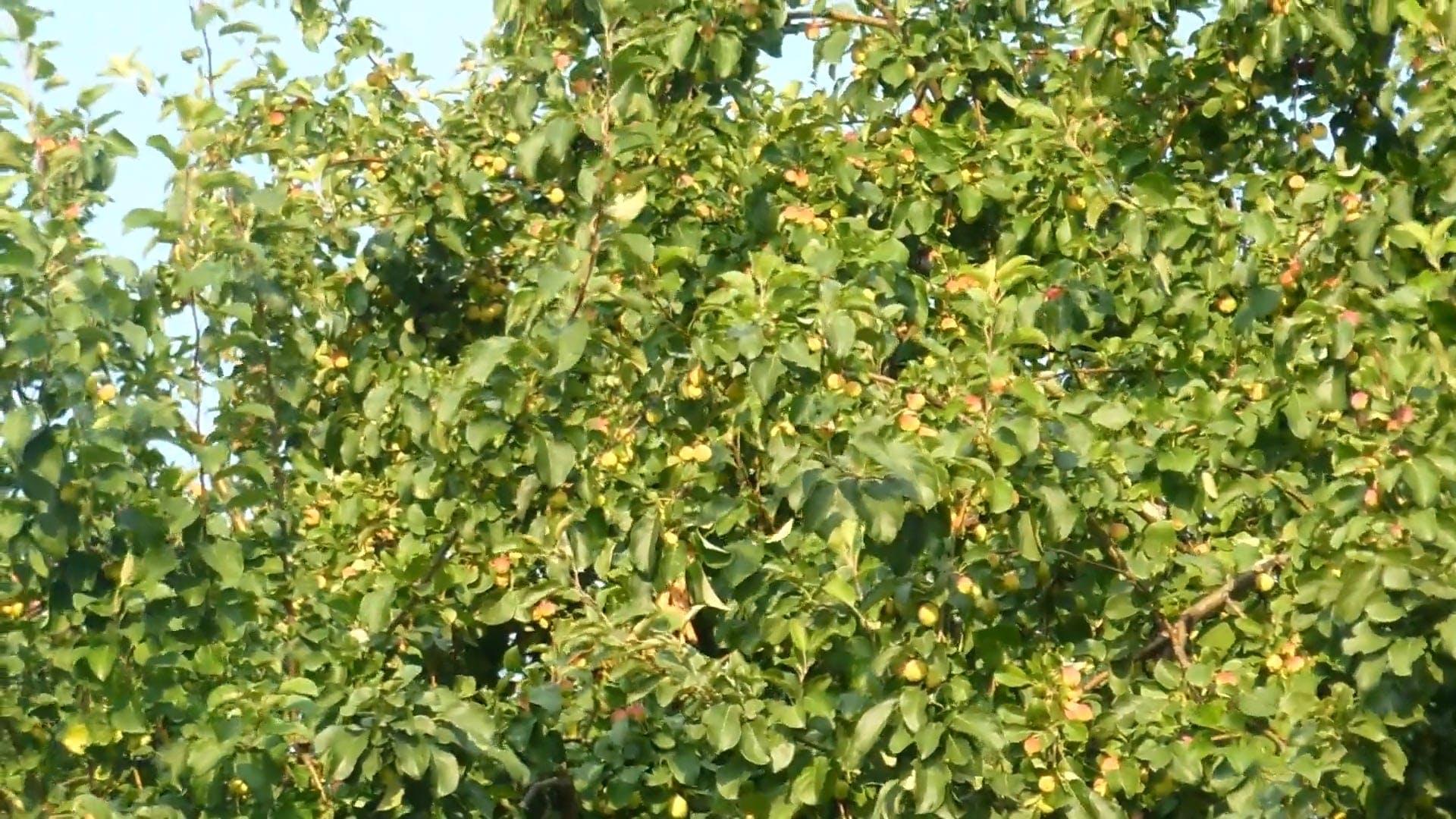 An Apple Fruit Growing Tree