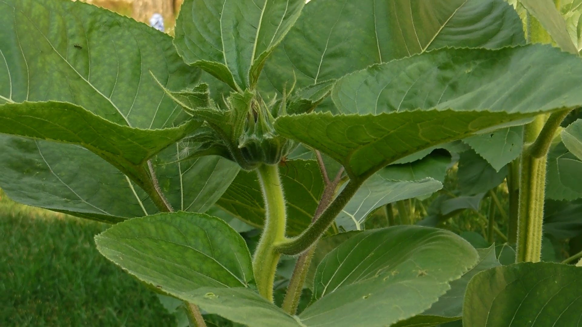 The Sunflower Bud