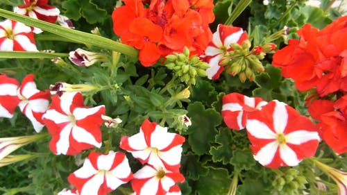 Red And White Petaled Flowers