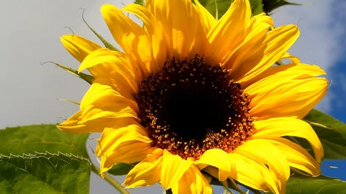 Close-Up Video of Sunflower