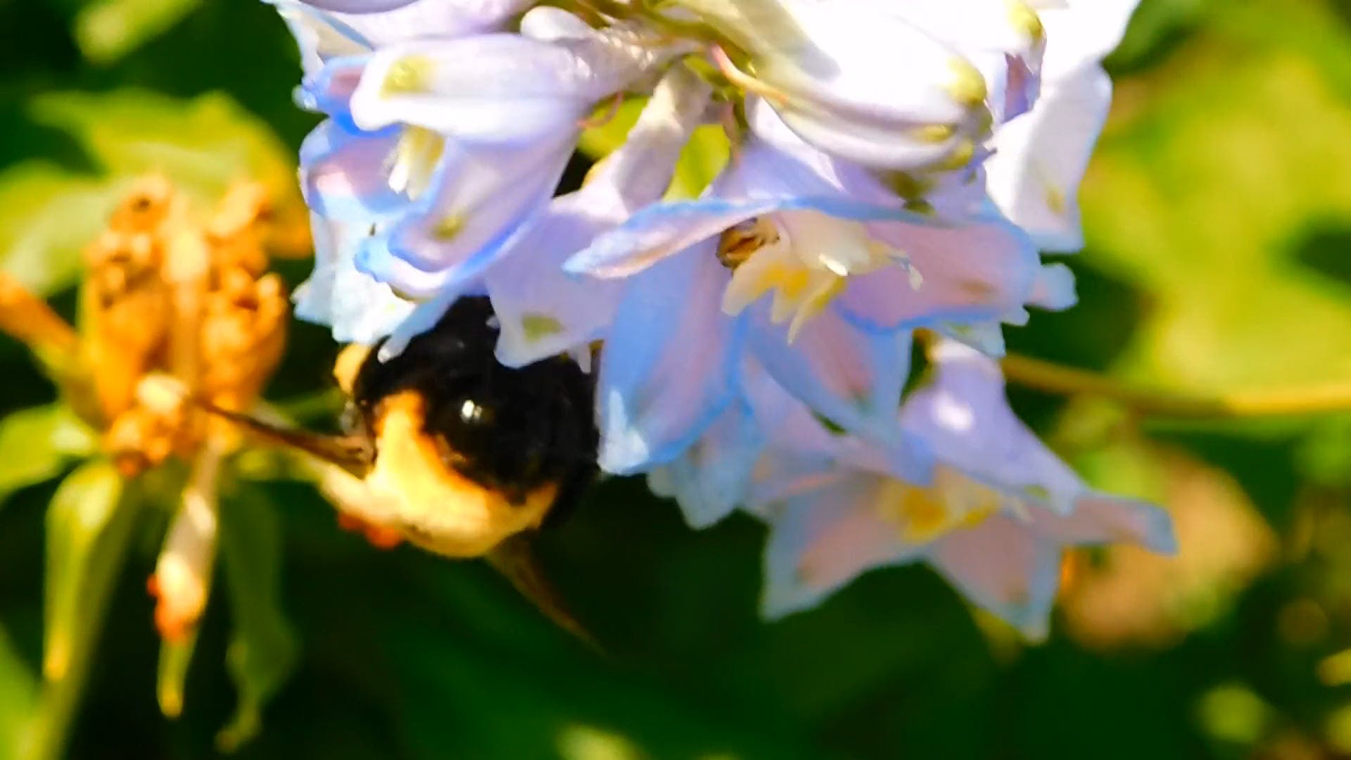 Close-up Of A Huge Bumblebee On Flowers