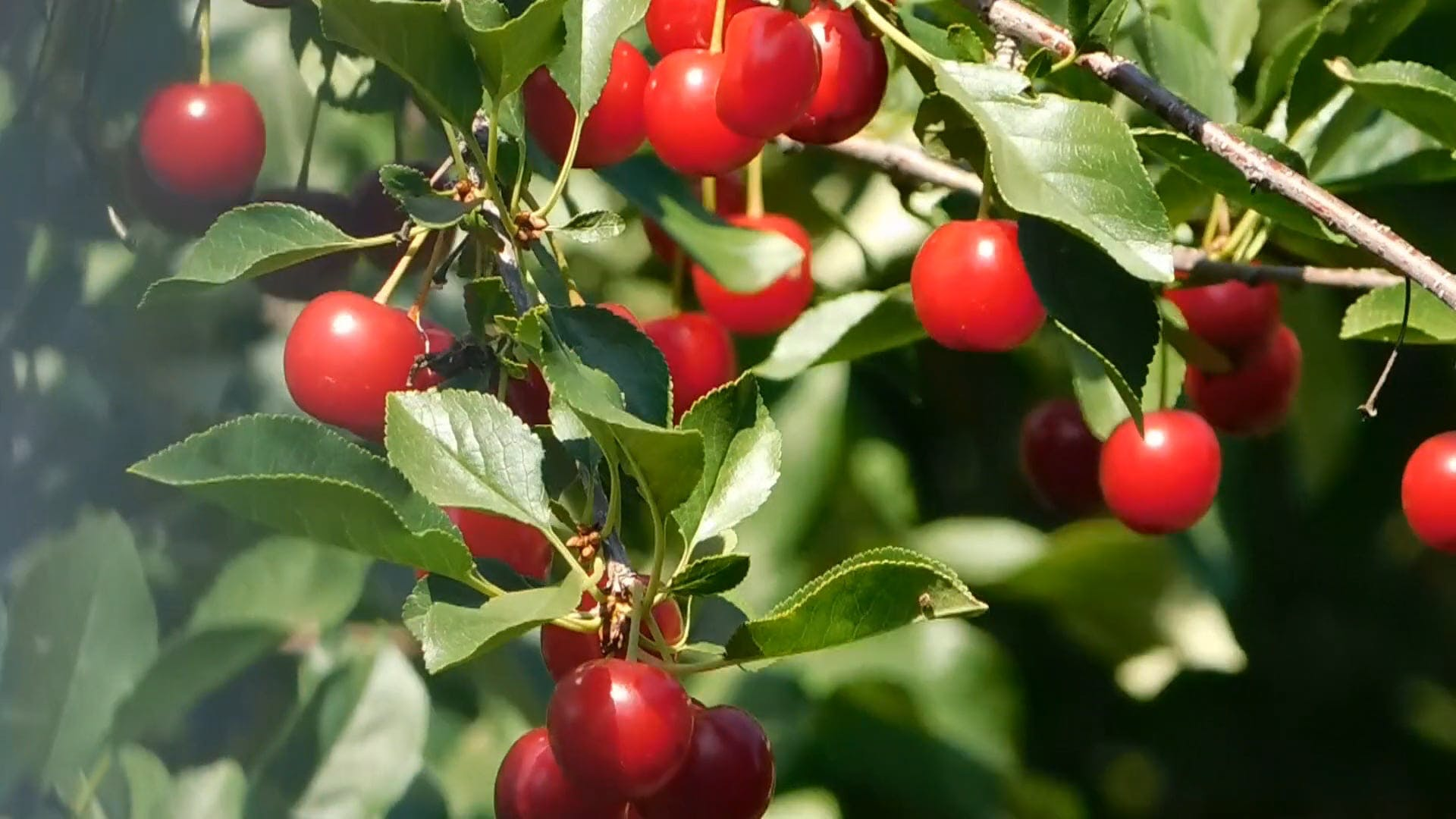 Close-up Of  Branches with Cherries