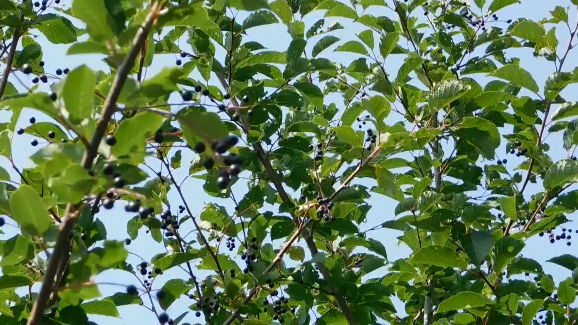 Black Berries on a Small Tree