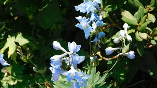 Gentle Blue Flower Blooms