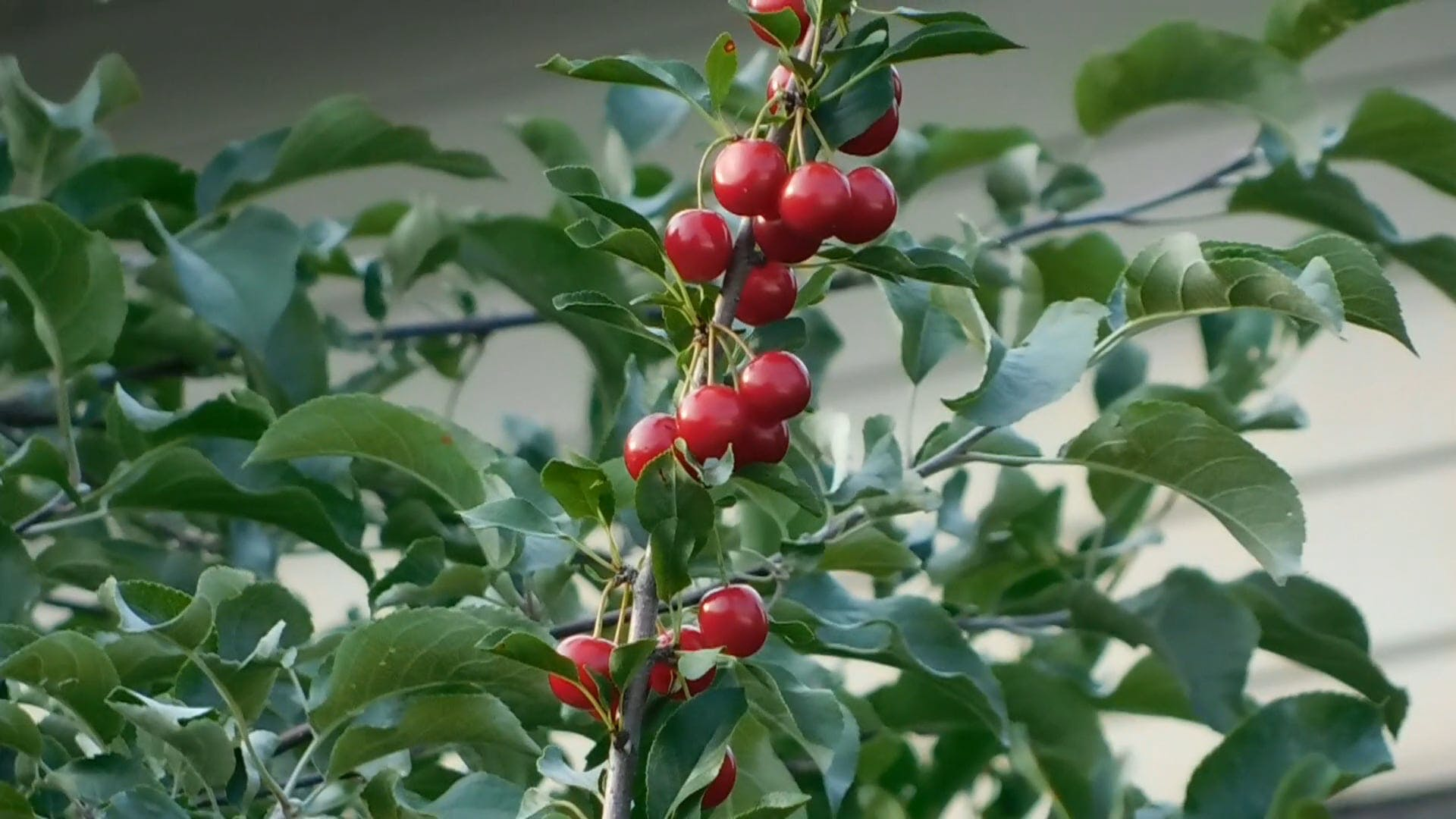 Close-Up Video Of Cherries