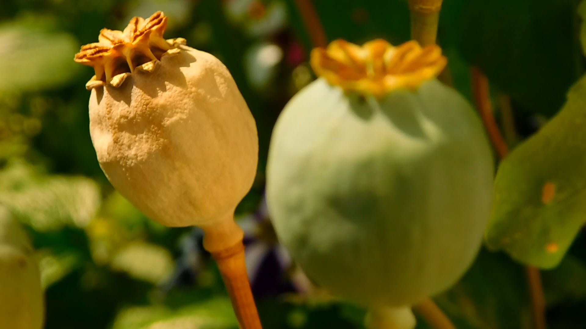 Close-up Poppy Seed Pods in a Garden